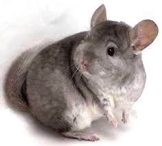 4-7-2014-chinchilla